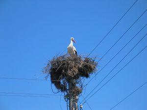 velika-stork